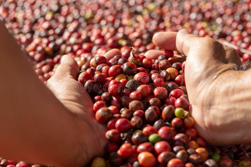Frisches Arabica-rote Kaffeebohnebeeren und trocknender Prozess lizenzfreie stockfotografie