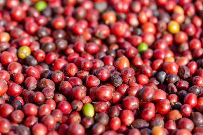 Frisches Arabica-rote Kaffeebohnebeeren und Trockner-Prozess stockfoto