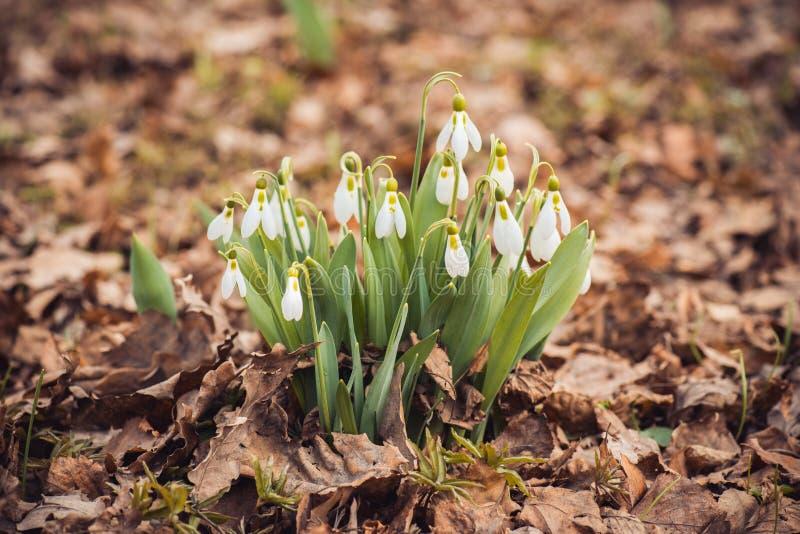 frisches Frühlingsschneeglöckchen blüht in der der Waldglücklichen Einladungskarte Frauen Tagesam 8. märz Makroschuß des selektiv lizenzfreie stockfotos