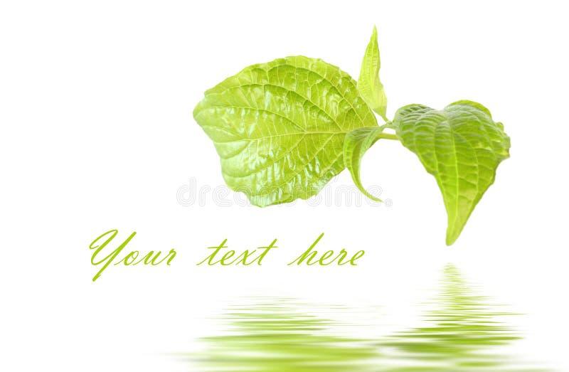 Frisches grünes Blatt lizenzfreie stockbilder