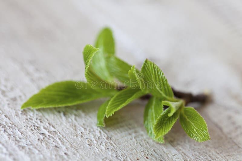Frisches grünes Blatt auf Holz stockfoto