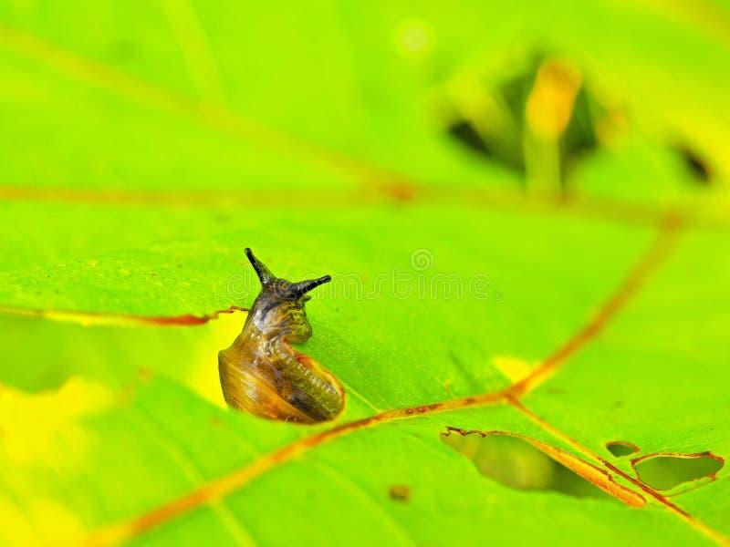 Frisches grünes Blatt der kleinen dunklen Schneckenzufuhr Sehr Nahaufnahmeansicht zur Schnecke lizenzfreie stockfotos