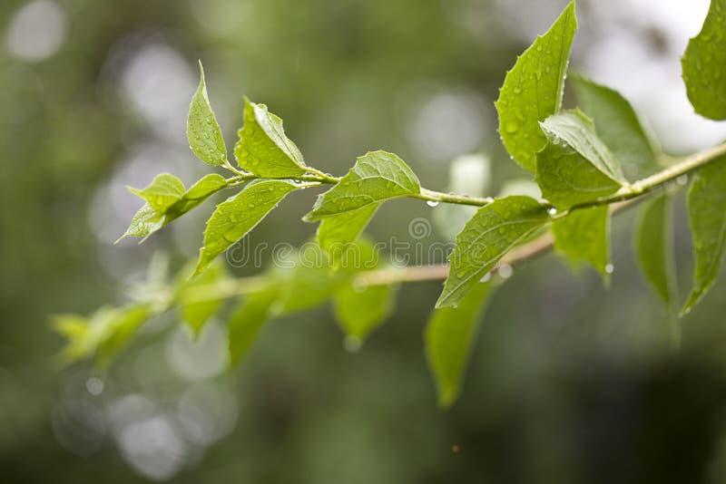 Frisches grünes Blatt im Frühjahr lizenzfreie stockbilder