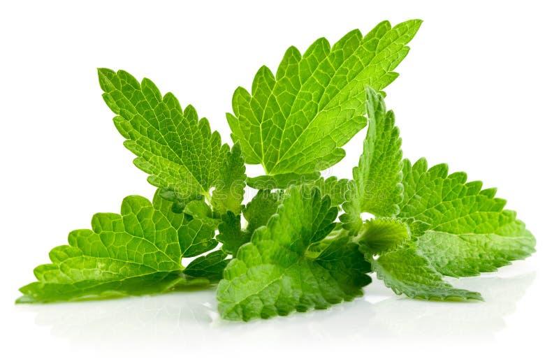Frisches grünes Blatt von Melisse lizenzfreie stockbilder
