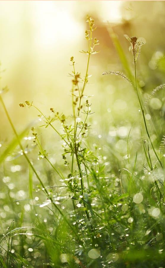 Frisches grünes Gras mit Tau stockfoto
