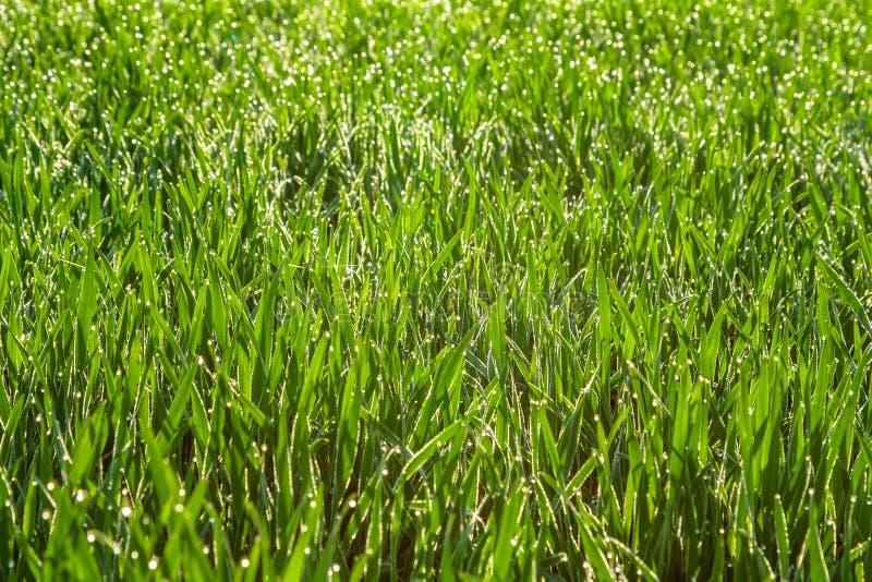 Frisches grünes Gras mit Tautropfen schließen oben Feld des grünen Grases gegen einen blauen Himmel mit wispy weißen Wolken stockfotografie
