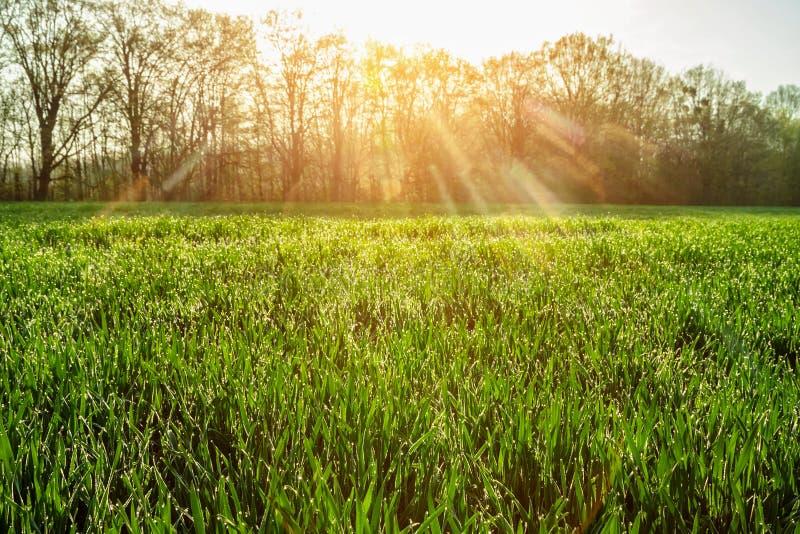 Frisches grünes Gras mit Tautropfen schließen oben Feld des grünen Grases gegen einen blauen Himmel mit wispy weißen Wolken stockbilder