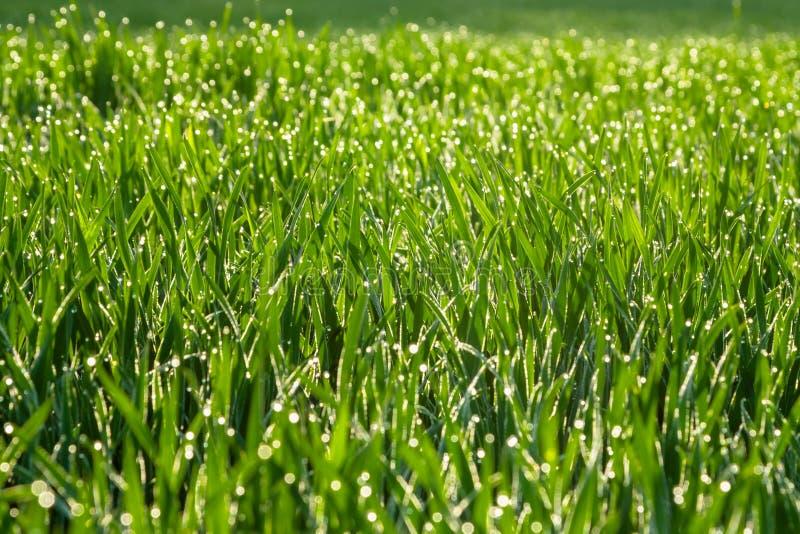 Frisches grünes Gras mit Tautropfen schließen oben Feld des grünen Grases gegen einen blauen Himmel mit wispy weißen Wolken lizenzfreie stockfotos