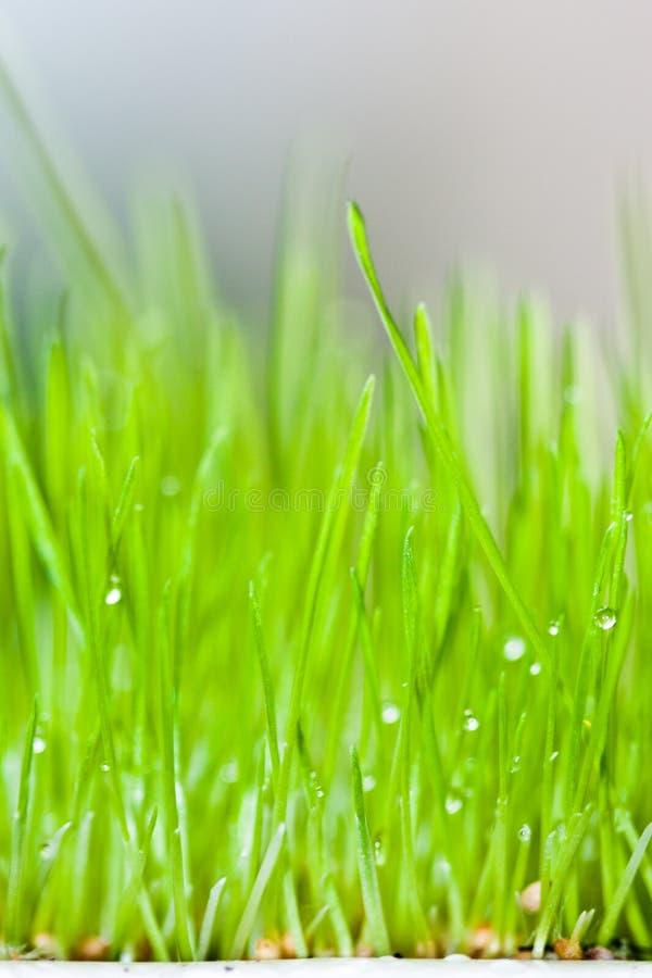 Frisches grünes Gras und Tau lizenzfreies stockfoto