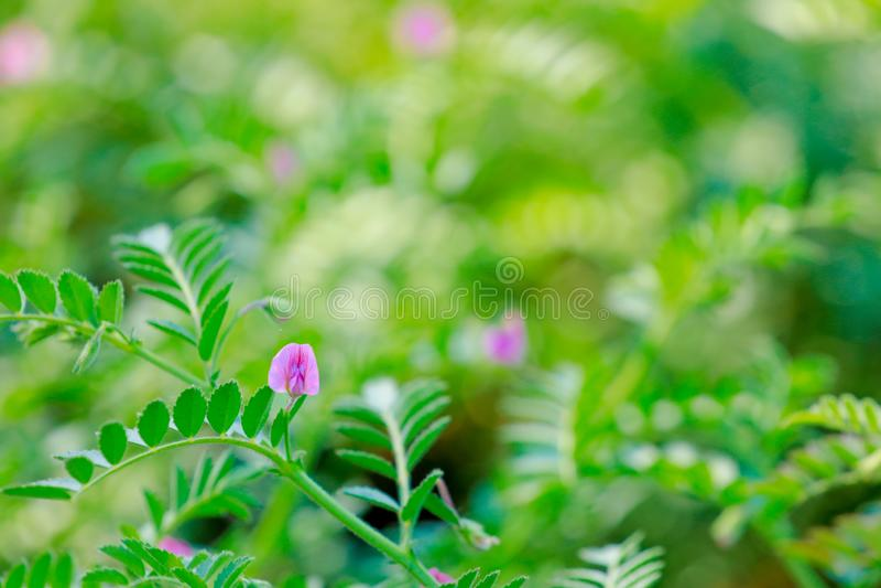 Frisches grünes Kichererbsenfeld, Kichererbsen alias harbara oder harbhara in Hindi und im Cicer ist wissenschaftlicher Name, stockfotografie