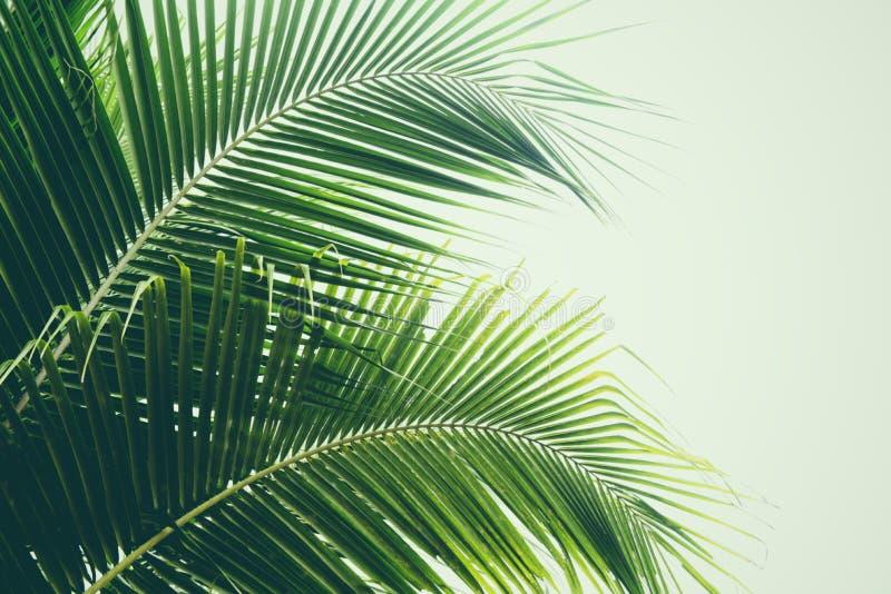 Frisches grünes Palmblatt auf tropischen Pflanzenblättern des Kokosnussbaums stockfoto