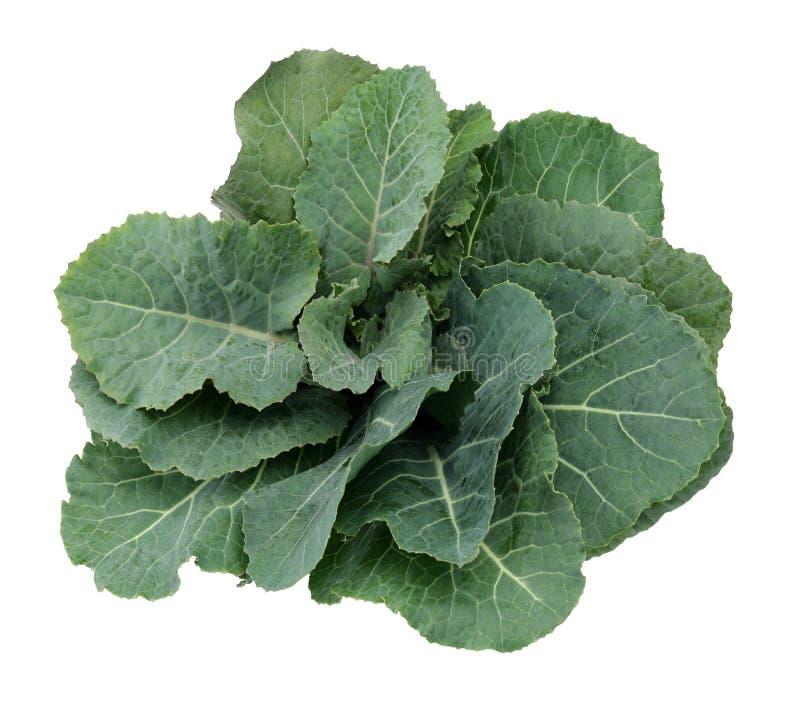 Frisches Grünkohlblatt stockfoto