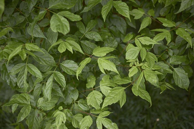 Frisches Laub von Acer-negundo Baum stockfoto