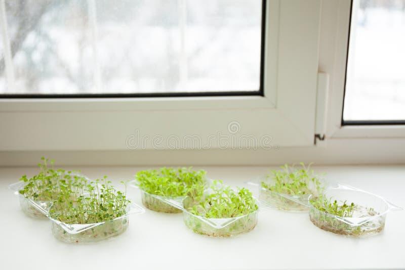 Frisches Mikro grünt die Sämlinge, die auf einem Fensterbrett wachsen stockbilder
