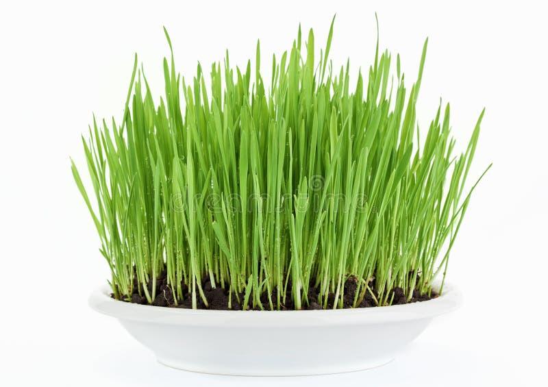 Frisches neues grünes Gras in der weißen Platte lizenzfreie stockbilder