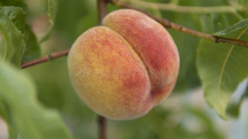 Frisches organisches Pfirsichsteinobst auf der Niederlassung im Obstgarten lizenzfreie stockfotografie