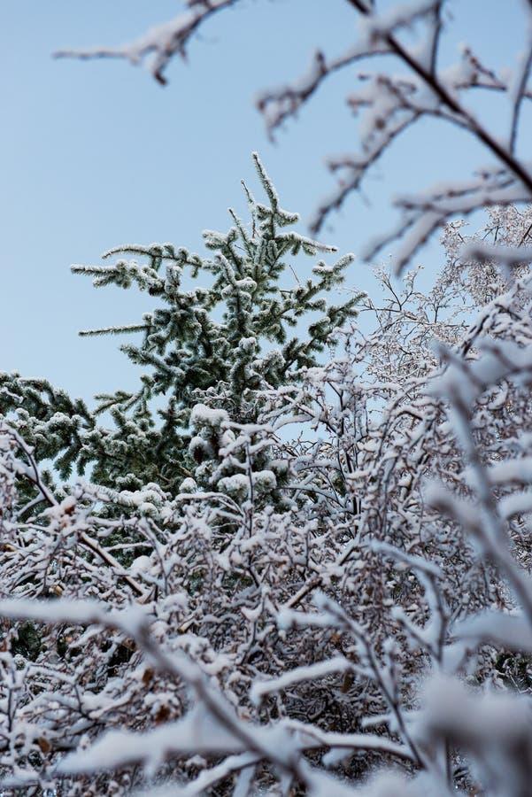 Frisches Pulver auf den Bäumen in Farellones stockfotografie