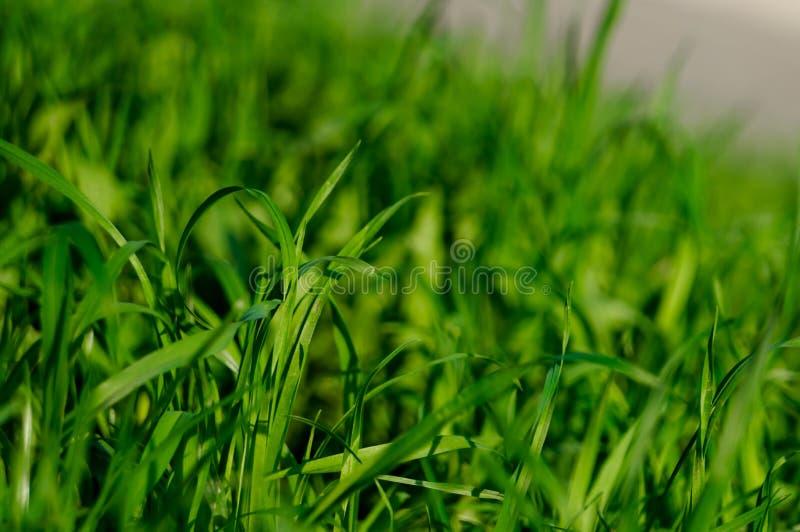 Frisches starkes Gras mit Wassertropfen am frühen Morgen lizenzfreie stockfotos