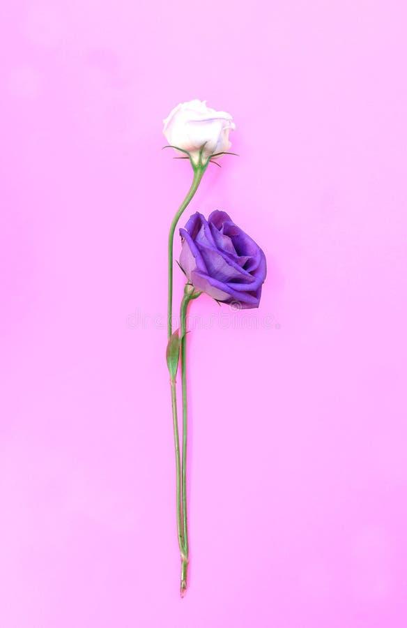 Frisches und verwelktes Rosenisolat auf rosa Hintergrund stockfoto