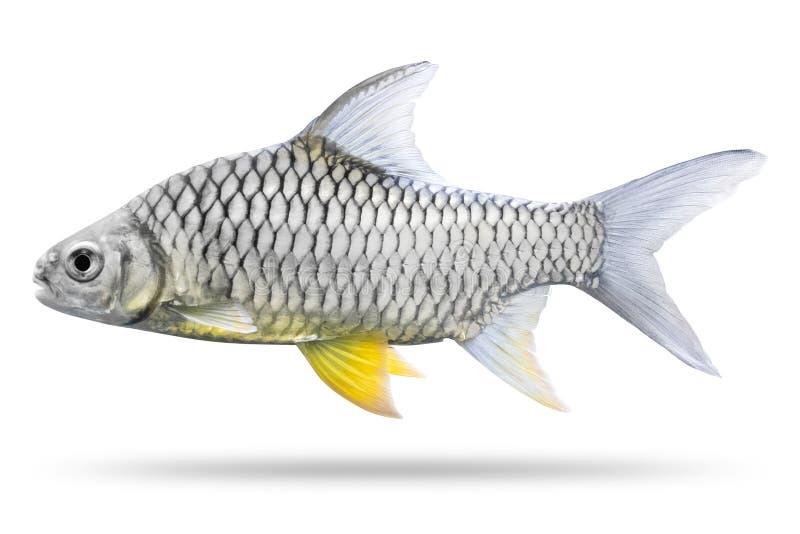 Frischwasserfische lokalisiert auf wei?em Hintergrund Thailändisches mashseer oder größerer Bachkarpfen ?ber Wei? stockfotos