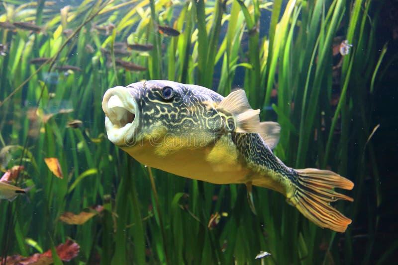 Frischwasserpufferfische stockbilder