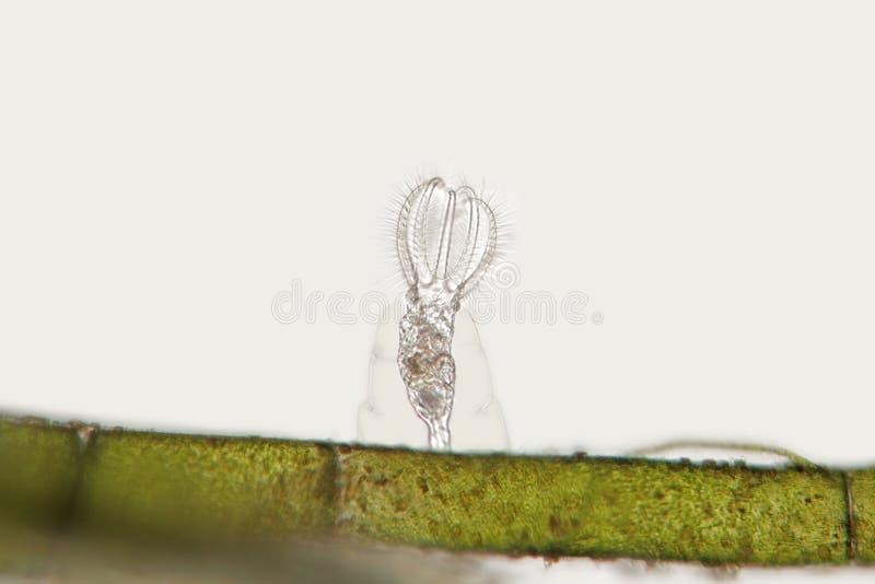Frischwasserrädertier Stephanoceros-fimbriatus auf faserigen Algen lizenzfreies stockfoto