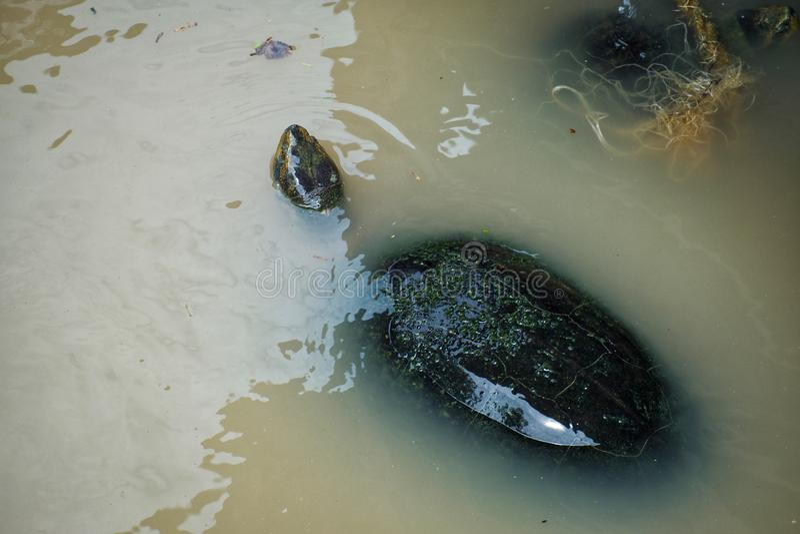 Frischwasserschildkröte schwimmt im Fluss stockfotos