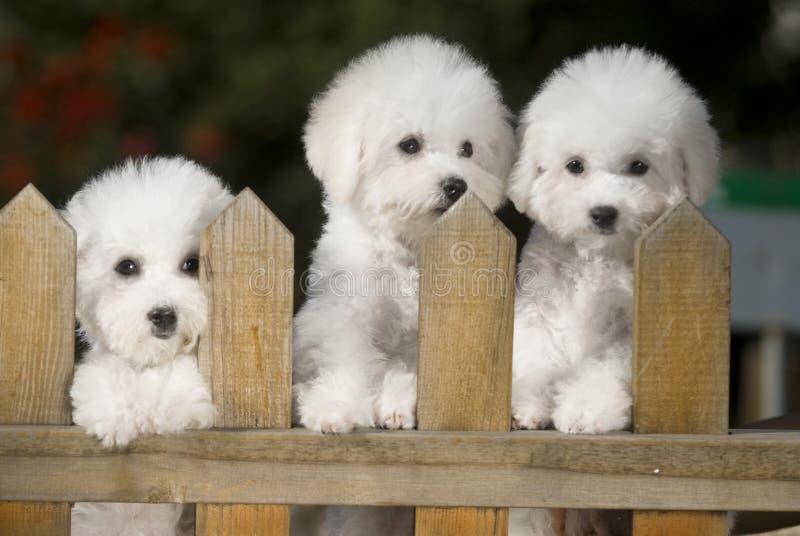 frise собаки bichon стоковое фото