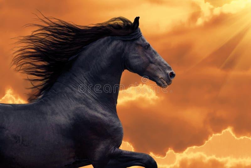 frisian cwału koński portret biega zmierzch zdjęcia stock