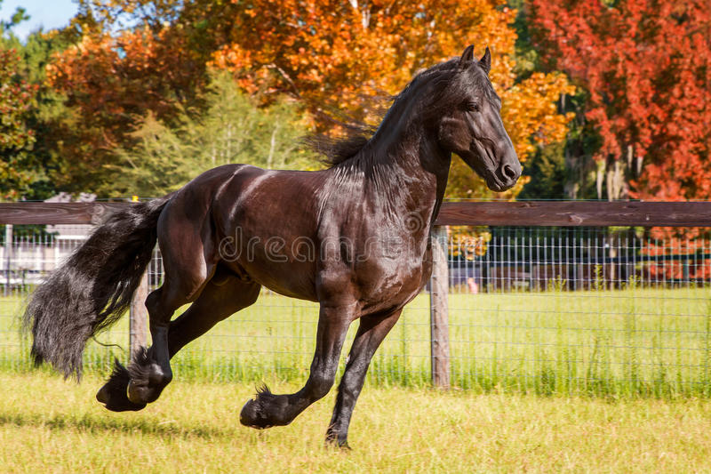 Frisian horse galloping in field next to fence. Brown black frisian / friesian horse galloping cantering running swiftly in a field meadow paddock pasture in royalty free stock images