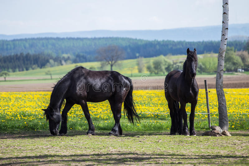 Frisian horses at spring meadow with dandelion. Flowers royalty free stock image