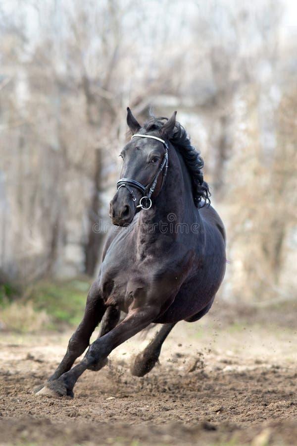 Frisian stallion gallops. Frisian stallion run on autumn lansdscape stock image