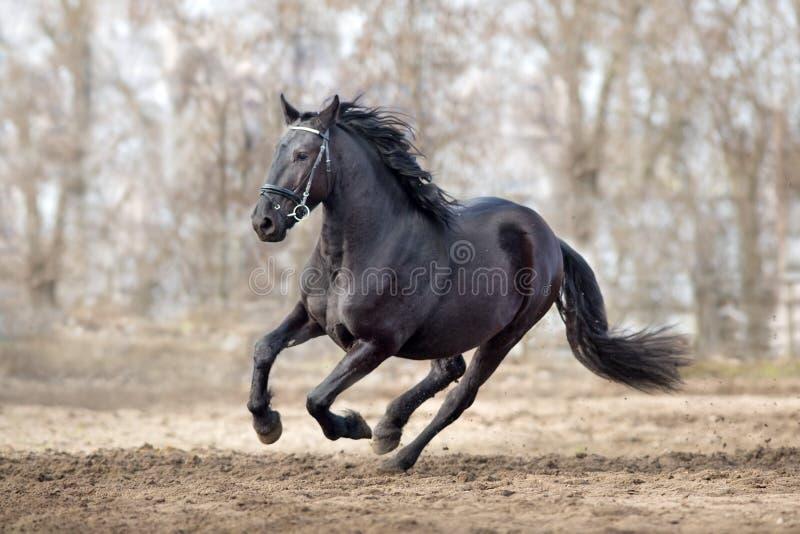 Frisian horse gallops. Frisian stallion run on autumn lansdscape stock photography