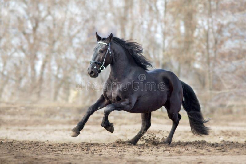 Frisian stallion run. On autumn lansdscape royalty free stock image