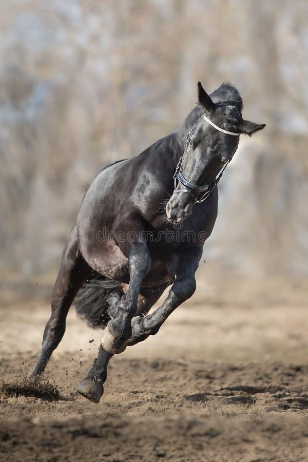 Frisian stallion run. On autumn lansdscape stock photography
