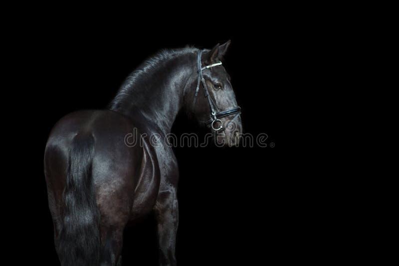 Frisianpaard op zwarte stock afbeeldingen