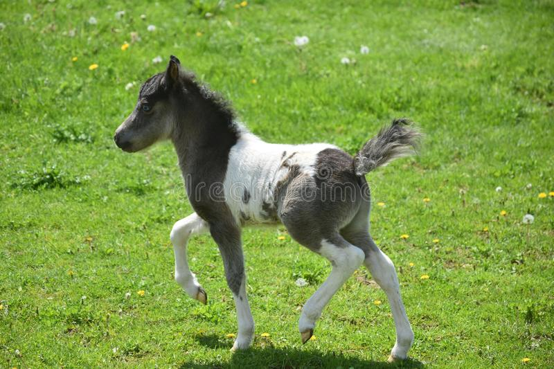 Frisky Black and White Paint Mini Horse in Lancaster County stock photos