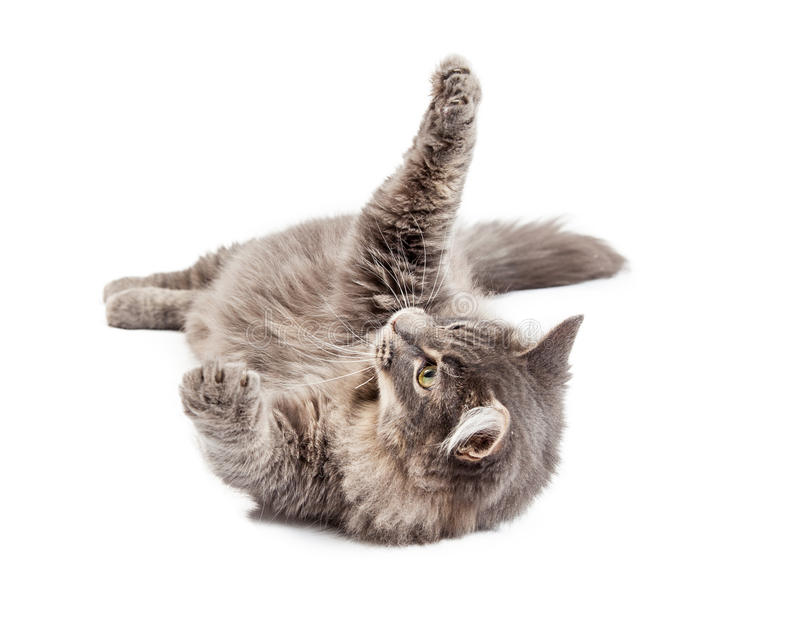 Frisky Gray Cat Laying on Back. Beautiful adult gray color domestic medium hair cat laying on his back and raising his paws up to play stock photos