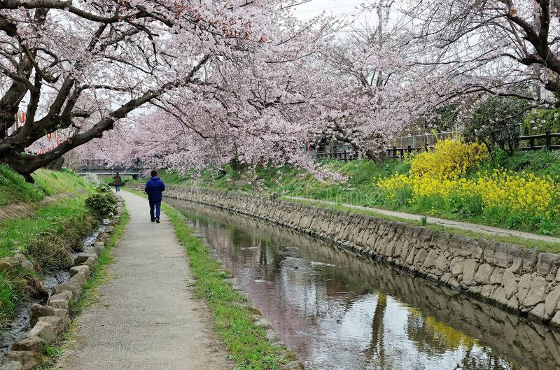 Fritid promenerar en vandringsled under en romantisk valvgång av rosa träd för den körsbärsröda blomningen royaltyfri bild