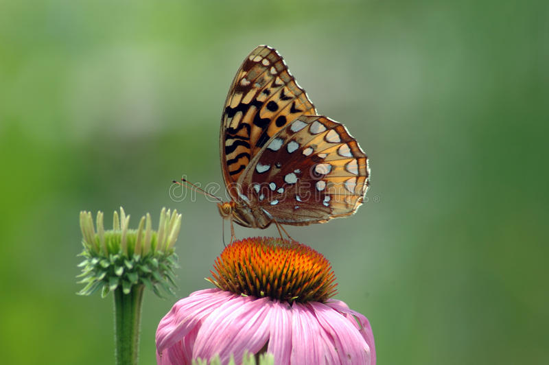Fritiilary Butterfly On Coneflower royalty free stock image