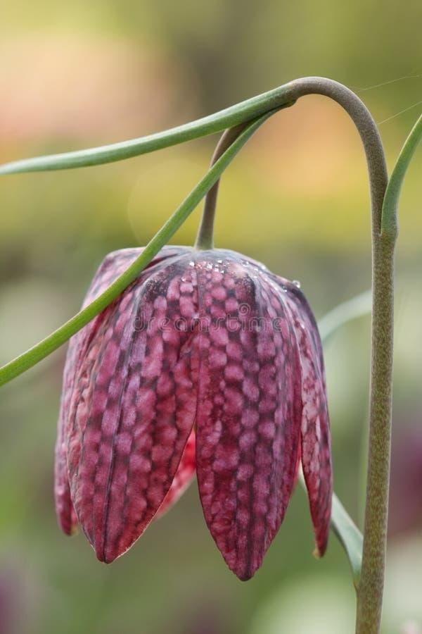 Fritilaria Royalty Free Stock Photo