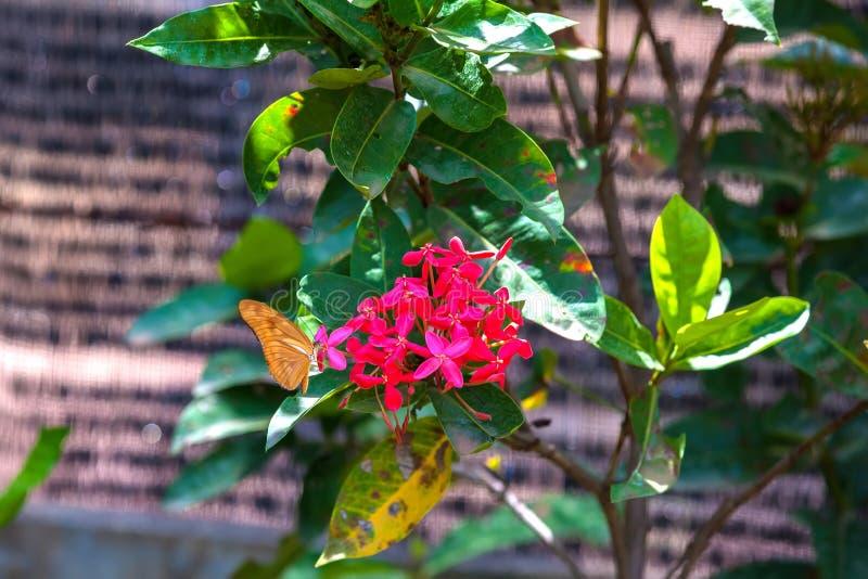 Fritillaire de Golfe Euptoieta claudia à la plantation de butterflys dedans photographie stock libre de droits