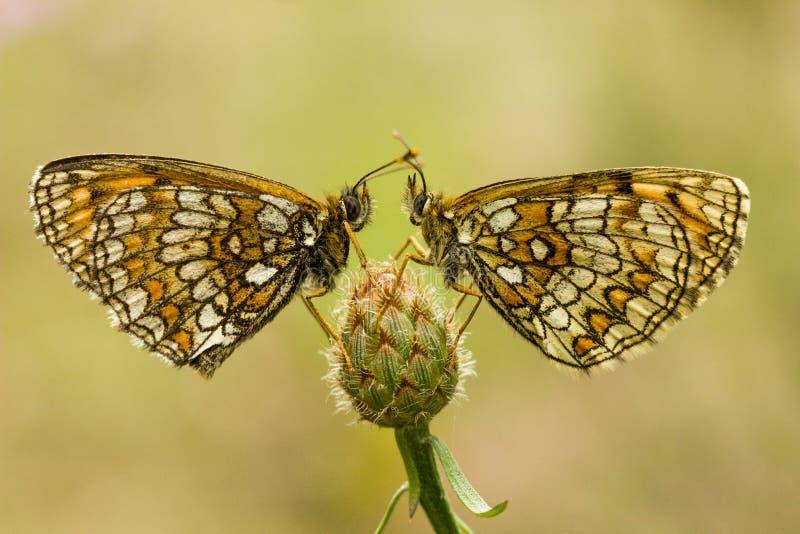 Fritillaire du ` s de Nickerl - aurelia de Melitaea photographie stock libre de droits