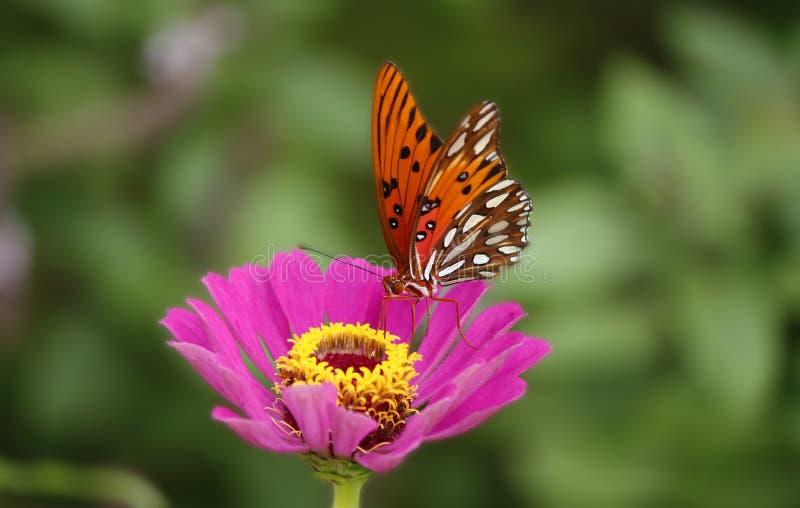 Fritillaria del golfo fotografia stock libera da diritti
