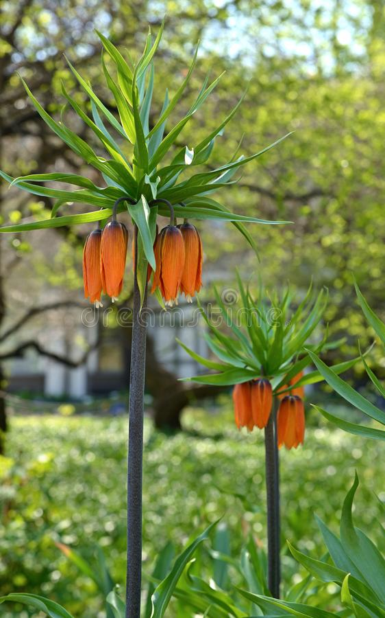 Fritillaria imperialis Rubra maksimumy w wczesnej wiośnie obrazy stock