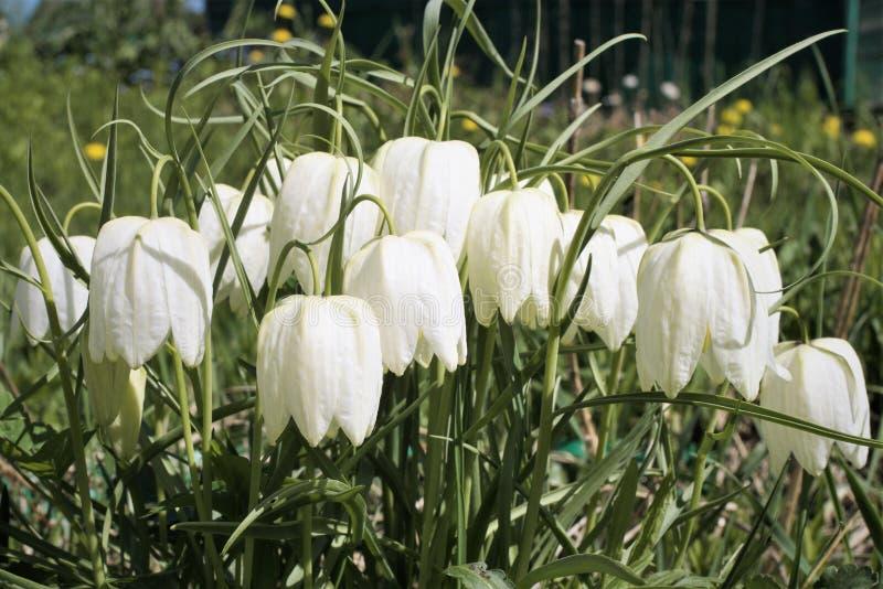 Fritillaria meleagris albumy lub biała orzechowa pardwa w wczesnej wiośnie obrazy royalty free
