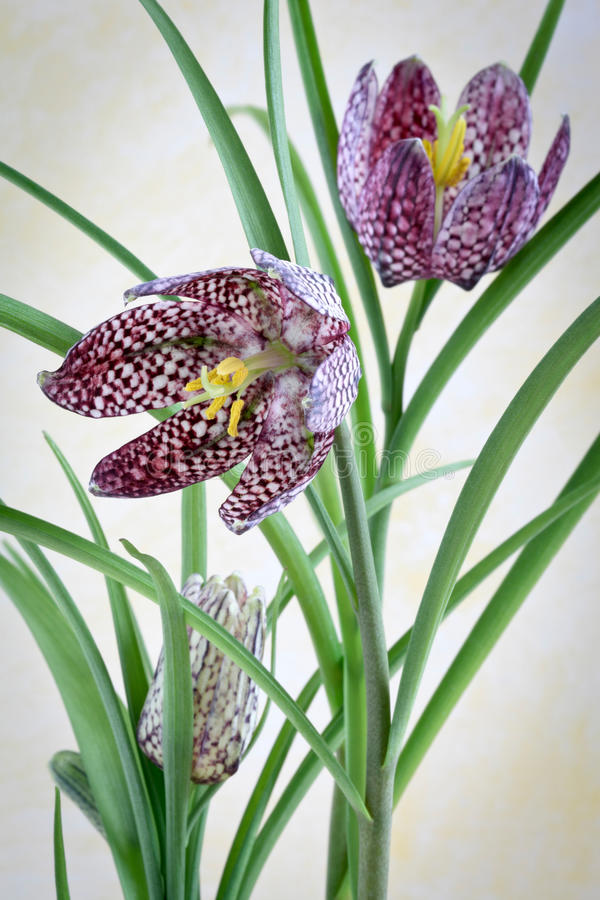 Download Fritillaria Meleagris - Checkered Stock Photo - Image: 23584138
