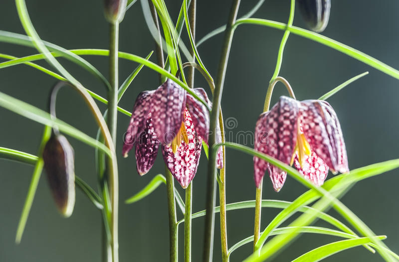 Download Fritillaria stock photo. Image of flowers, pink, green - 34803918