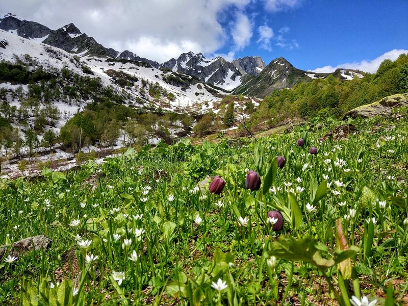 Fritillaria w górach obraz stock