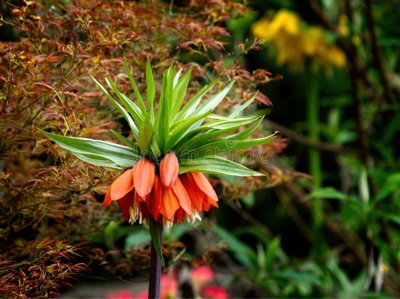 Fritillariaimperialis kr?nar den imperialistiska imperialistiska fritillaryen eller Kaisers krona arkivfoton